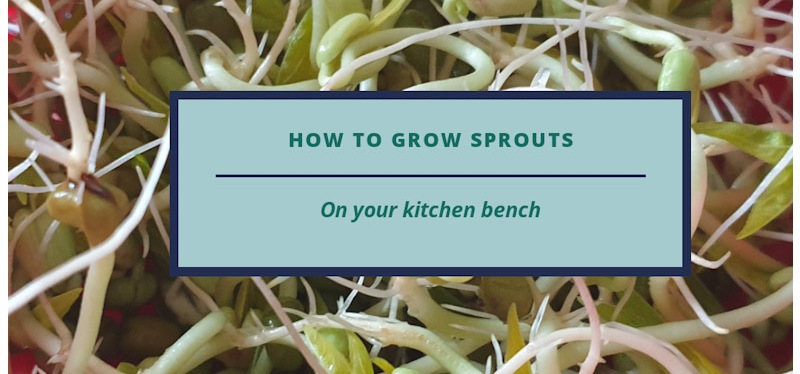 How to Grow your own Sprouts on your kitchen bench